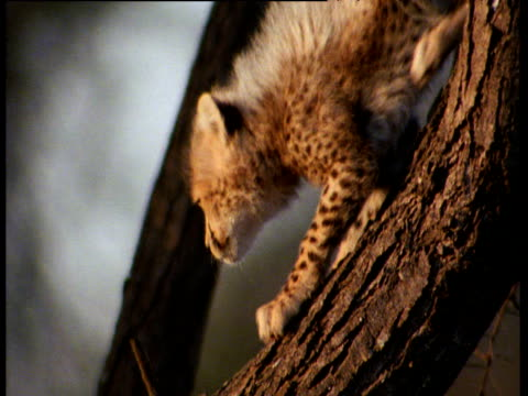 Cheetah cub slides down tree trunk