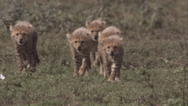Cheetah cubs approach mother at kill. Available in HD.