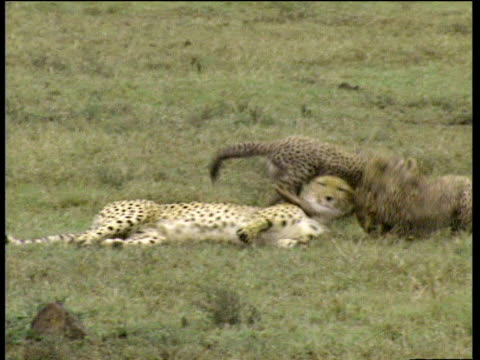 Cheetah cubs play and chase before leaping on mother