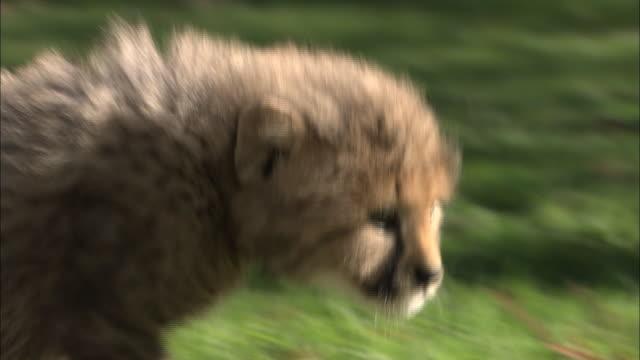 cheetah cubs prowl across green grass. - raubtierjunges stock-videos und b-roll-filmmaterial