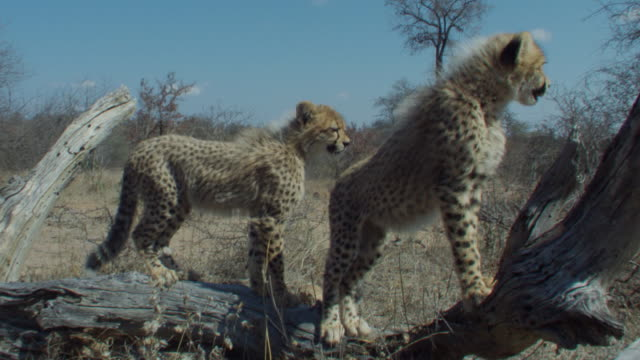 Cheetah cubs stand on a dead tree. Available in HD.