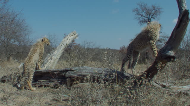 Cheetah cubs stand on a dead tree limb. Available in HD.