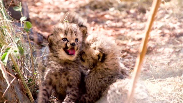 ms cheetah cubs - cheetah stock videos and b-roll footage