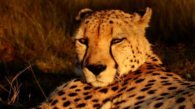Cheetah(Acinonyx jubatus) dozing in late afternoon sun