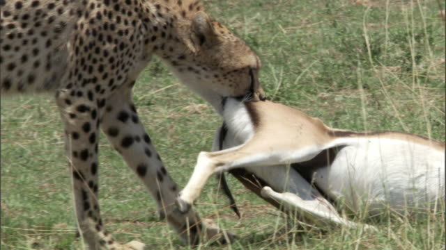 "stockvideo's en b-roll-footage met cheetah (acinonyx jubatus) drags thomson's gazelle (eudorcus thomsonii) kill, masai mara, kenya - ""bbc natural history"""