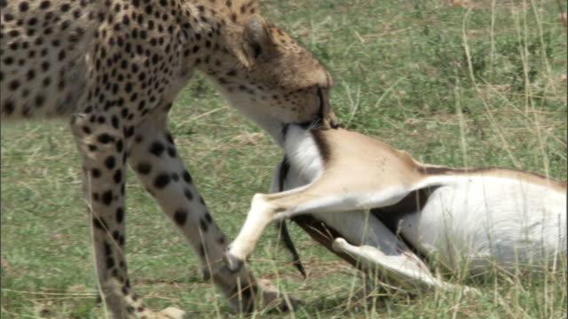 Cheetah (Acinonyx jubatus) drags Thomson's gazelle (Eudorcus thomsonii) kill, Masai Mara, Kenya