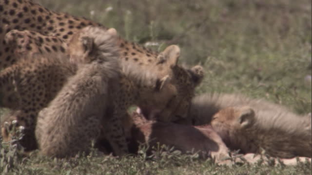 Cheetah family feeds on carcass. Available in HD.