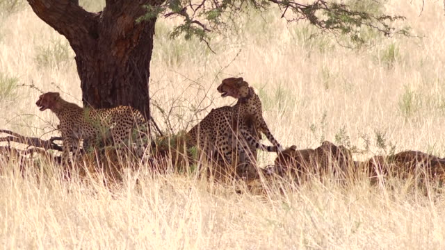 Cheetah Family in the Kalahari
