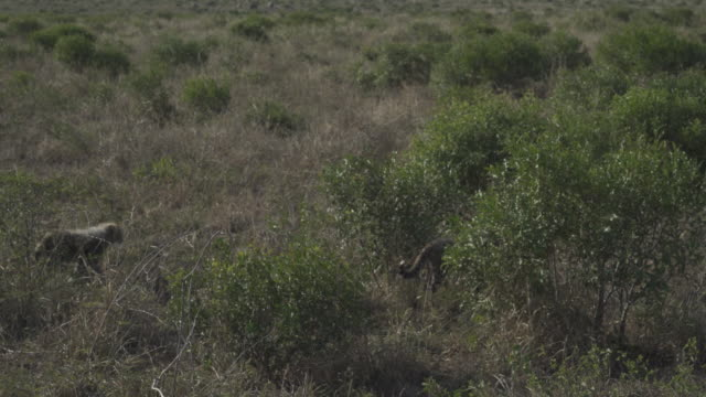 cheetah family / south africa, southern africa, africa - southern africa stock videos & royalty-free footage