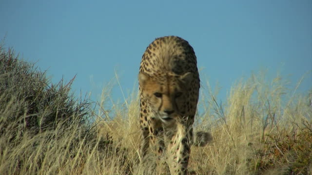 Cheetah -Gepard1