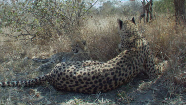 A cheetah grooms her cub as they rest in the shade of a tree. Available in HD.