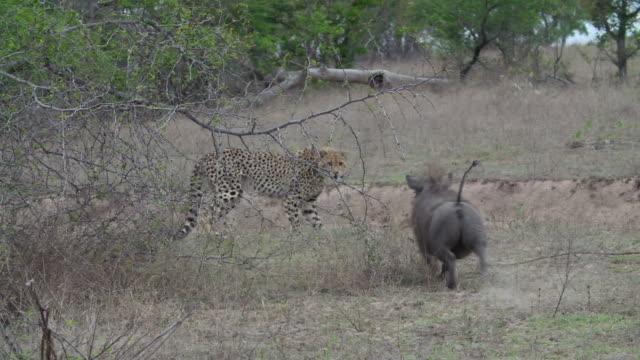 vídeos de stock, filmes e b-roll de ms pan ts cheetah hissing at warthog and geting chased / kruger national park, mpumalanga, south africa - javali africano