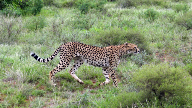 cheetah hunting at wild - steppe stock videos & royalty-free footage