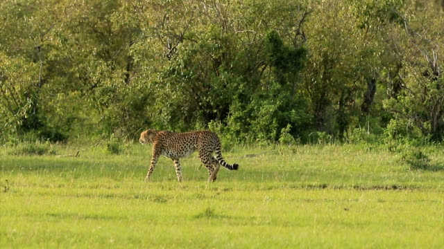 Cheetah Hunting / preying with Topi Antelope
