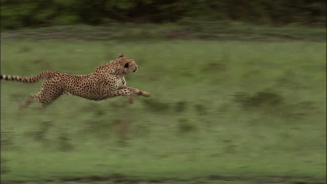 Cheetah hunts a young gazelle