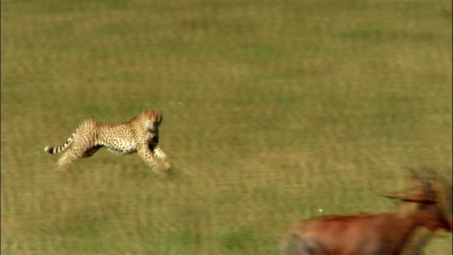 cheetah hunts antilope - cheetah stock videos and b-roll footage