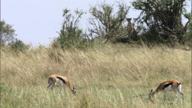 vídeos de stock e filmes b-roll de cheetah (acinonyx jubatus) hunts thomson's gazelles (eudorcus thomsonii), masai mara, kenya - grupo pequeno de animais