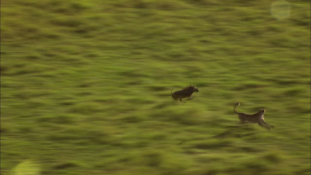 cheetah hunts warthog - mittelgroße tiergruppe stock-videos und b-roll-filmmaterial