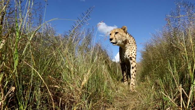 Cheetah(Acinonyx jubatus) in long grass walking straight towards camera