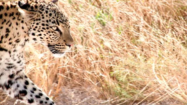 slow mo cu cheetah in the savannah - cheetah stock videos & royalty-free footage