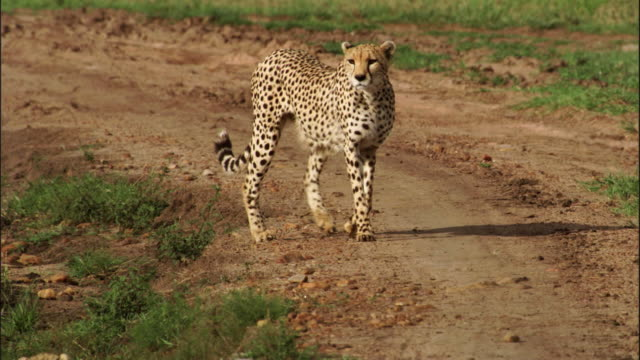 Cheetah is playing