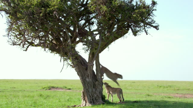 cheetah jumps from tree, masai mara, kenya, africa - cat family stock videos and b-roll footage