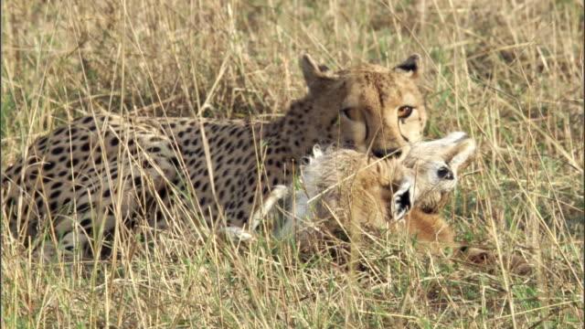 Cheetah (Acinonyx jubatus) kills Thomson's gazelle (Eudorcus thomsonii), Masai Mara, Kenya
