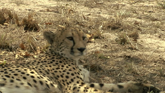 a cheetah lays down and yawns. available in hd. - panting stock videos & royalty-free footage