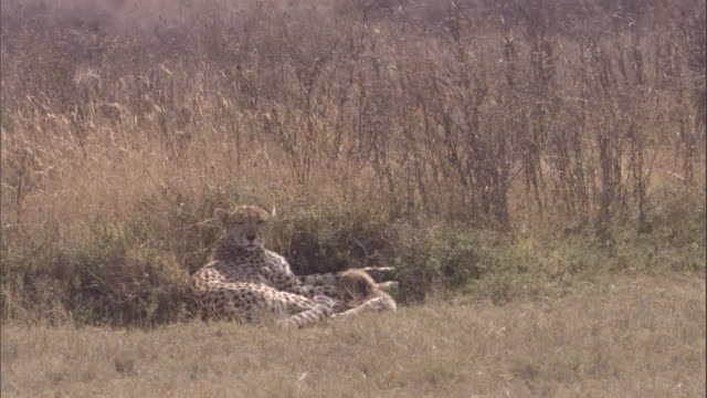 "vídeos de stock e filmes b-roll de cheetah lies at edge of long grass with new-born cub. available in hd. - ""bbc natural history"""