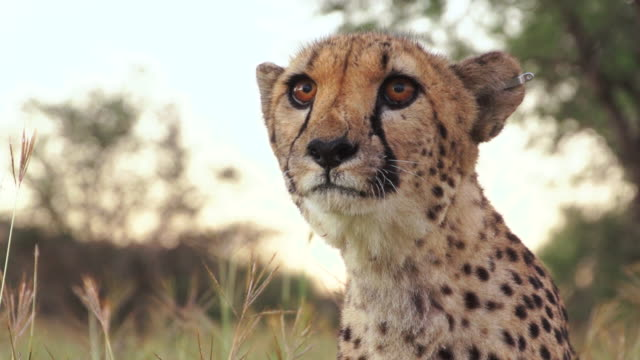 cu cheetah looking and searching around in grassy field / ongava, kunene, namibia - wildlife tracking tag stock videos and b-roll footage