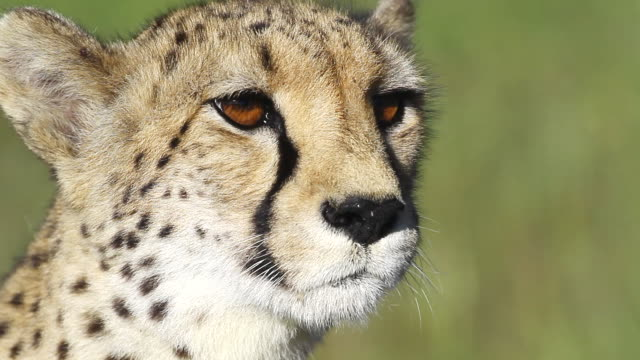 cu cheetah looking around / d2440, otjiwarongo, namibia - cheetah stock videos and b-roll footage