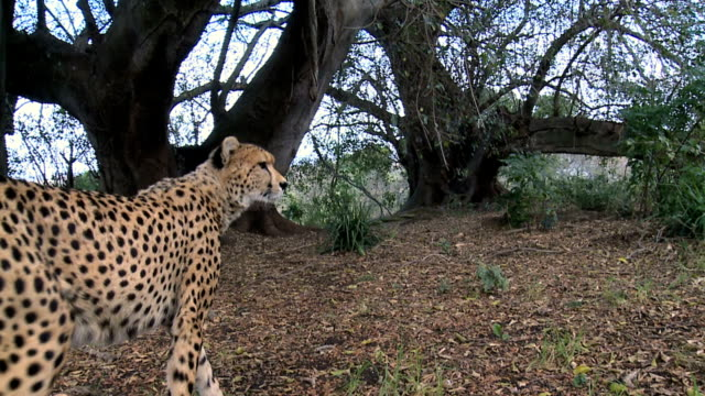 cheetah looking to the hunt - safari animals stock videos & royalty-free footage