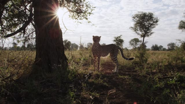 Cheetah looks around on savannah at sunrise, Zimbabwe