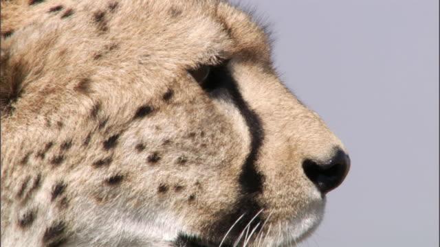 Cheetah (Acinonyx jubatus) looks around on savannah, Masai Mara, Kenya