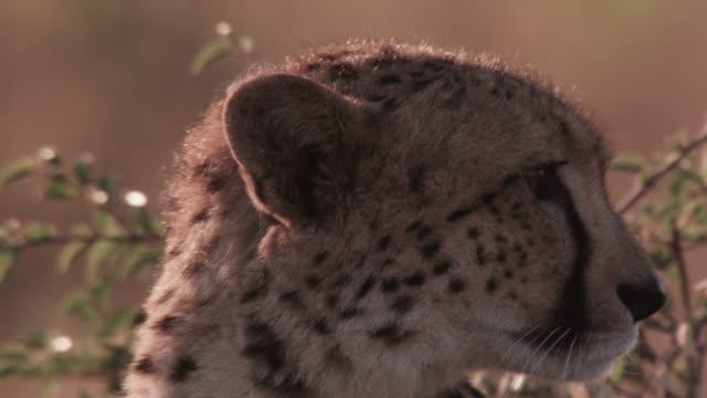 cheetah looks around on savannah, zimbabwe - 警戒点の映像素材/bロール