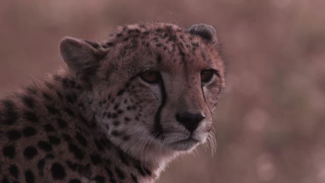 Cheetah looks around on savannah, Zimbabwe