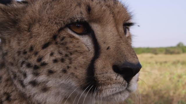 vidéos et rushes de cheetah looks around on savannah, zimbabwe - animaux à l'état sauvage