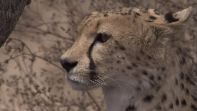 "vídeos de stock e filmes b-roll de a cheetah looks around over the savannas. available in hd. - ""bbc natural history"""