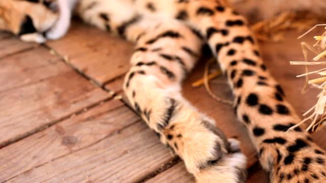 cheetah lying sleeping - paw stock videos & royalty-free footage