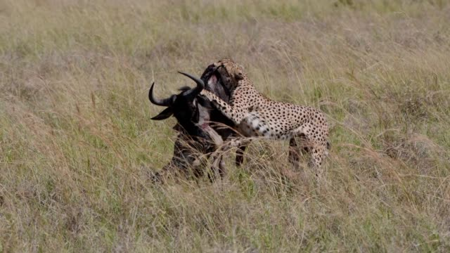 cheetah males hunting with effort wildebees , maasai mara, kenya, africa - cheetah stock videos & royalty-free footage