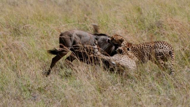 vídeos de stock, filmes e b-roll de cheetah males hunting with effort wildebees , maasai mara, kenya, africa - animais caçando