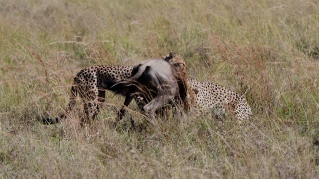 cheetah males hunting with effort wildebees , maasai mara, kenya, africa - animal attribute stock videos and b-roll footage