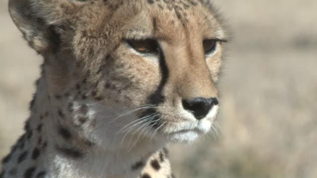 cheetah (acinonyx jubatus), namibia - carnivora stock videos and b-roll footage
