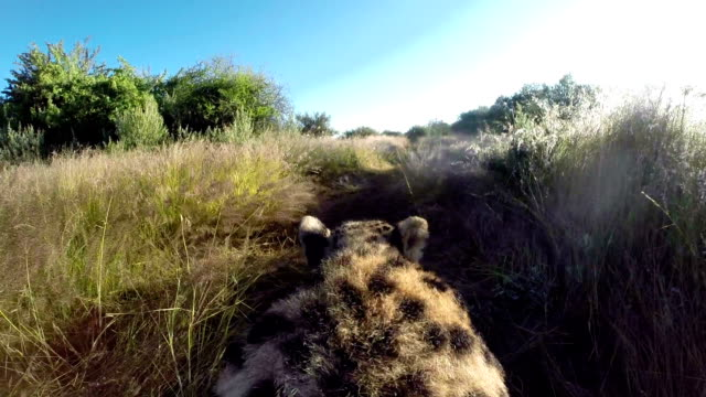cheetah(acinonyx jubatus) point of view walking through long grass - 絶滅の恐れのある種点の映像素材/bロール