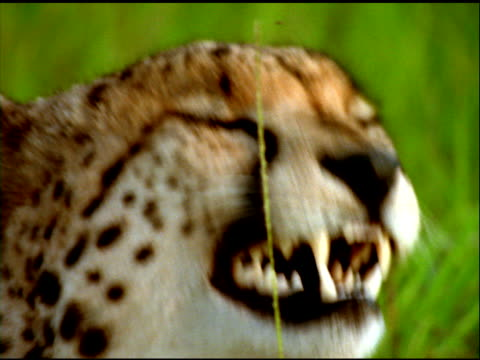 cheetah preens itself and yawns, south africa - postura video stock e b–roll