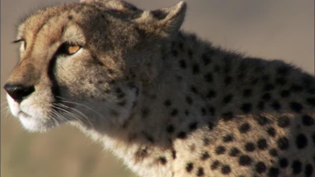 cheetah (acinonyx jubatus) prowls on savannah, masai mara, kenya - cheetah stock videos & royalty-free footage