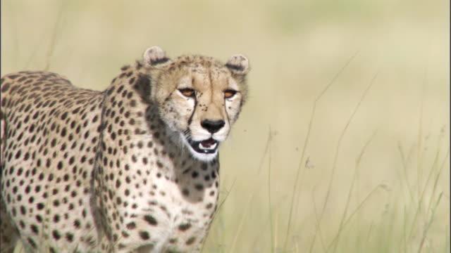 Cheetah (Acinonyx jubatus) prowls on savannah, Masai Mara, Kenya