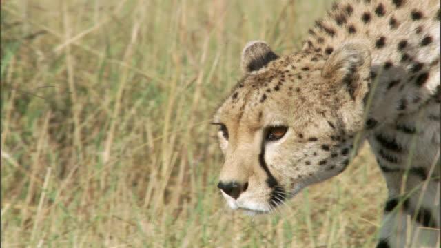 vídeos de stock, filmes e b-roll de cheetah (acinonyx jubatus) prowls on savannah, masai mara, kenya - espreitando