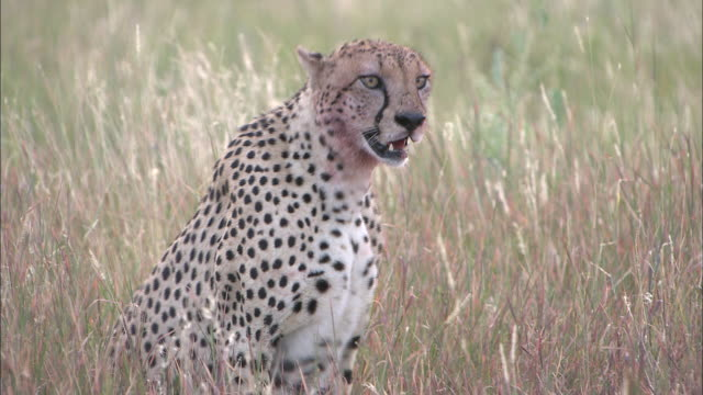 a cheetah rests in tall grass. - panting stock videos & royalty-free footage