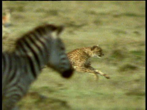 Cheetah running across savanna among zebras and Thomson's gazelles.